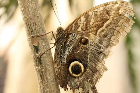 Morpho vlinder - Zowel aan de buitenkant mooi als aan de binnenkant. De vleugels zijn wel wat gescheurd - foto door lisetteb op 30-08-2012 - deze foto bevat: vlinder
