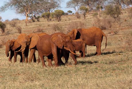 Rode olifanten