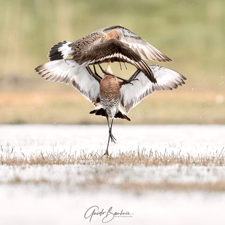Grutto's dans  - Grutto's dans  - foto door guidobauhuis op 12-04-2021 - locatie: 1156 Marken, Nederland - deze foto bevat: vogel, ecoregio, water, bek, accipitridae, aanpassing, vloeistof, veer, vleugel, falconiformes