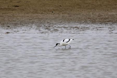 Kluut - Scharrelend - foto door Ebben op 11-04-2021 - deze foto bevat: water, vogel, bek, lichaam van water, meer, watervogels, veer, pelecaniformes, rennen, ciconiiformes