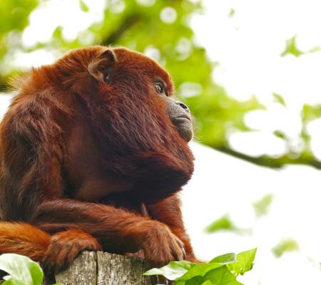 Verveling - Waar blijven die bezoekers nou? Ik verveel me dood. - foto door Roos1677 op 13-04-2021 - deze foto bevat: dieren, apen, rode brulaap, dierentuin, orangoetan, primaat, fabriek, oog, organisme, lever, terrestrische dieren, snuit, natuurlijk materiaal, terrestrische plant