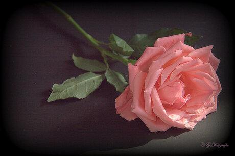 Roos rose II