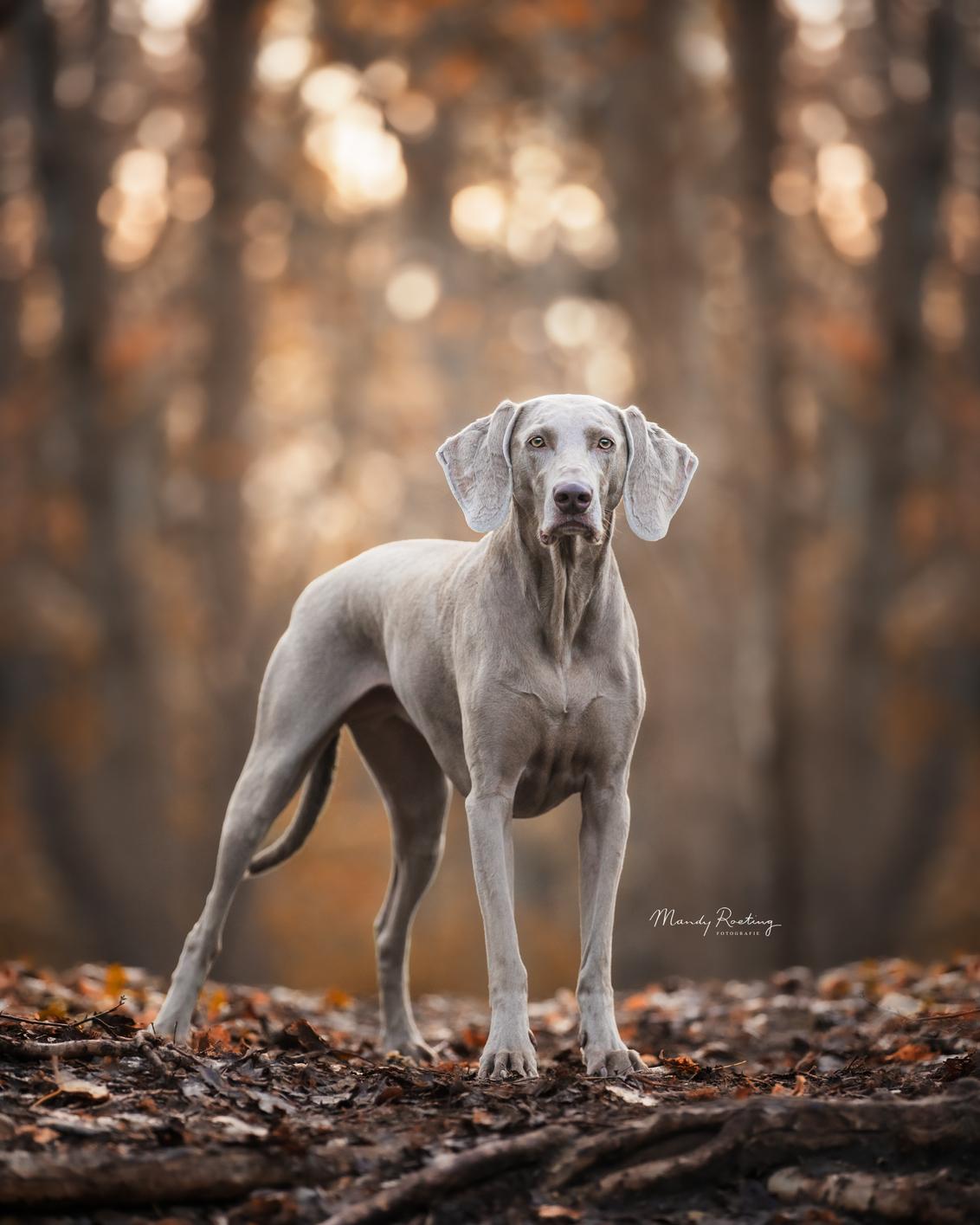 Belle in het bos - Belle in het herfstbos - foto door MandyRoeting op 09-11-2020 - deze foto bevat: herfst, huisdier, bos, hond, weimaraner
