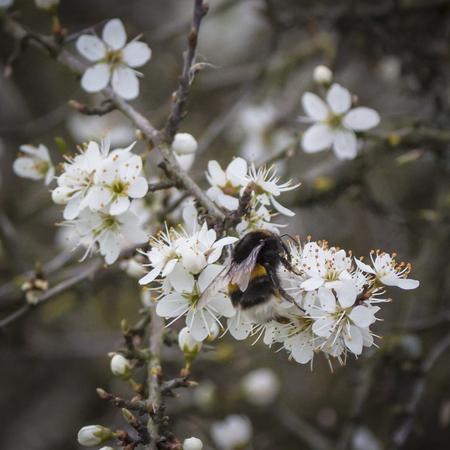 Lentebeeld - Aardhommel op Sleedoorn - foto door aloyss op 12-04-2021 - locatie: 6923 Groessen, Nederland - deze foto bevat: hommel,, insect, lente, sleedoorn, bloem, fabriek, wit, afdeling, takje, bloemblaadje, detailopname, bloeiende plant, boom, voorjaar