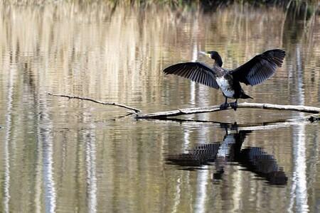 AALSCHOLLVER - aalscholver met reflectie berken in het water... - foto door jh- op 14-04-2021 - deze foto bevat: water, vogel, bek, vloeistof, meer, vloeistof, vleugel, staart, veer, watervogels