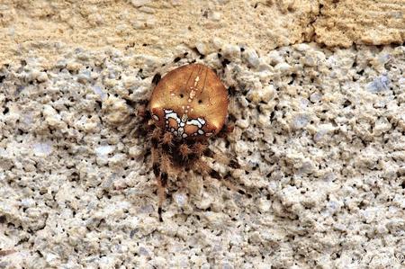Kruisspin. - De kruisspin is in tegenstelling tot veel andere spinnen geen schuwe soort, maar eentje die vaak midden in het web zit en moeilijk over het hoofd is  - foto door ocelot_zoom op 06-05-2020 - deze foto bevat: macro, natuur, spin, kruisspin, spanje, nicojo