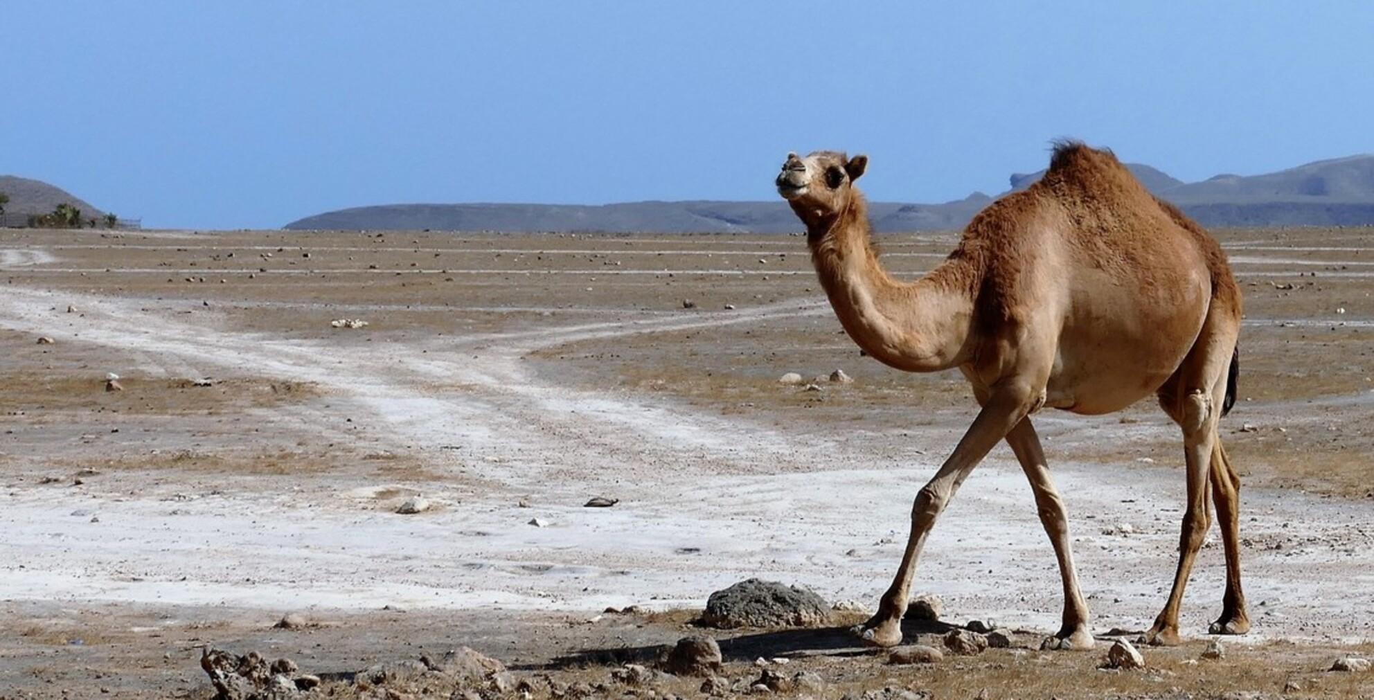 wilde dromedaris in VAE - deze dromedaris in het wild kwamen we met mazzel tegen in de woestijn.... - foto door jh- op 01-03-2021 - deze foto bevat: zon, natuur, dieren, landschap, bergen, wildlife, woestijn, reisfotografie - Deze foto mag gebruikt worden in een Zoom.nl publicatie