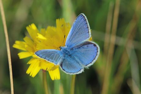 icarus-blauwtje.jpg