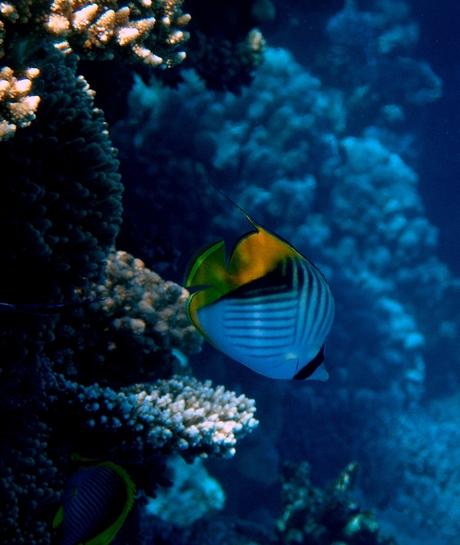 koraalvlinder