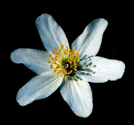 Bosanemoon ( Anemone nemorosa )