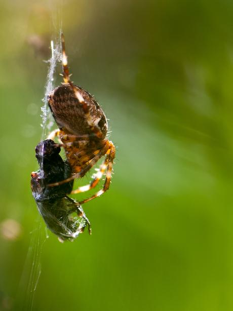 Eating fly....jpg
