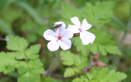 Een vlieg op een bloemetje