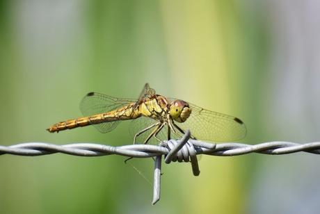 Steenrode heidelibel..