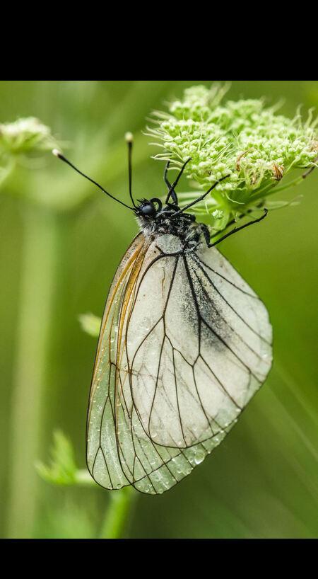 Wachten tot de regen stopt - Groot geaderd witje (Aporia crataegi). Ik wist het niet, maar vlinders gaan niet vliegen als het koud en regenachtig overdag is. Ze zoeken een bloem - foto door Gentiaan op 27-02-2015 - deze foto bevat: wachten, regen, regendruppels, insect, dagvlinder, schermbloemige, Groot Geaderd witje, Aporia crataegi