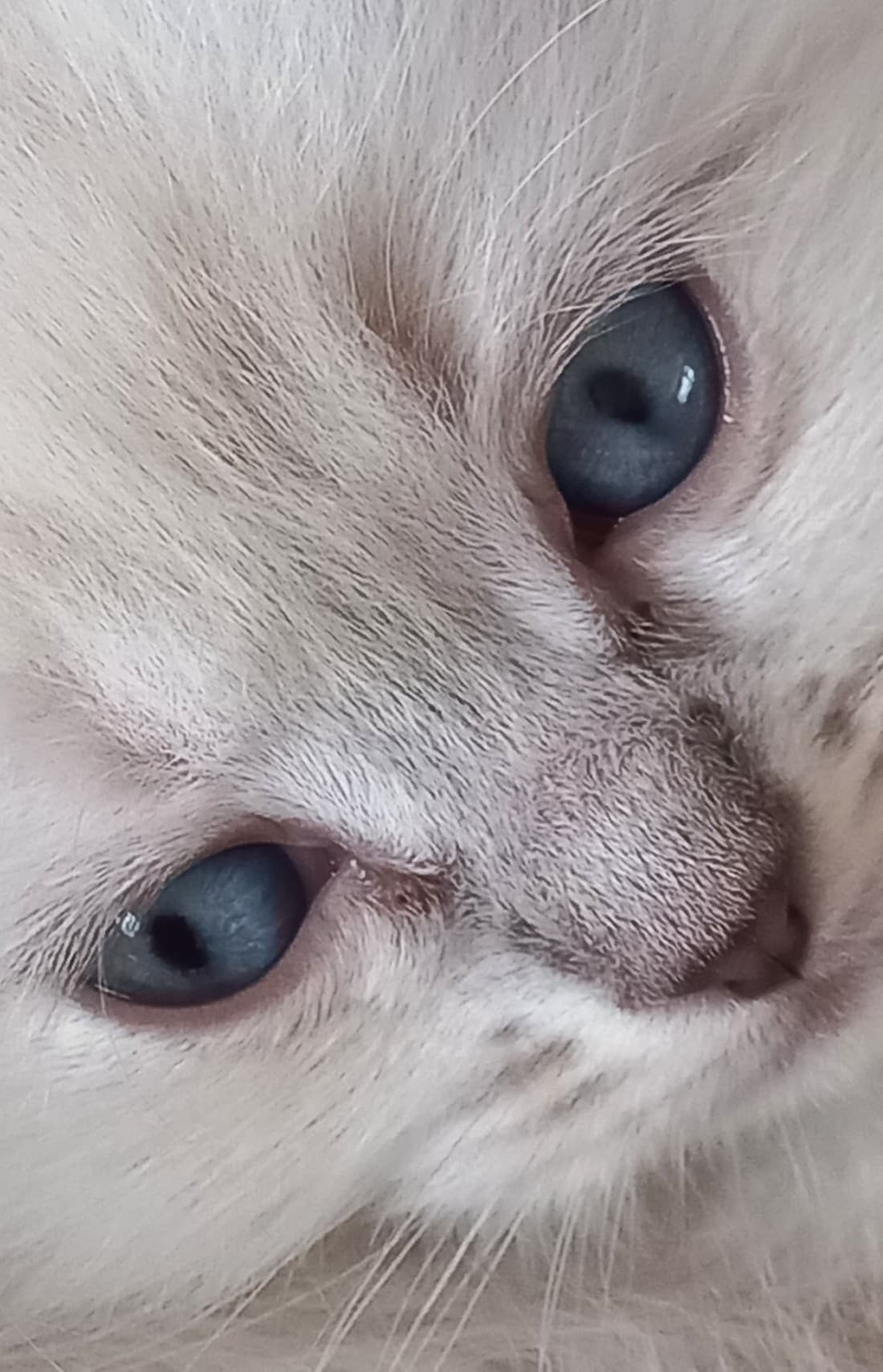 Ragdoll kitten - Een prachtige kitten die even stil bleef liggen. - foto door Mindert74 op 08-04-2021 - deze foto bevat: neus, hoofd, kat, wenkbrauw, oog, felidae, menselijk lichaam, kleine tot middelgrote katten, carnivoor, bakkebaarden