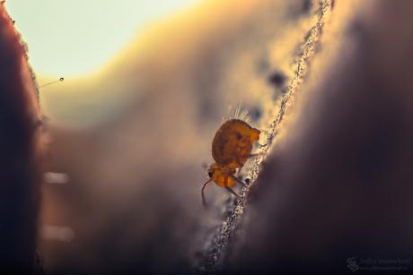 Springtail Explorer 2016