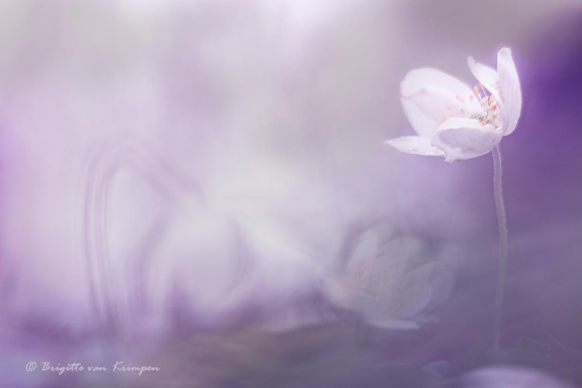 Purple Overall - Tja daar is ie dan, de eerste bosanemoon van dit jaar. Meer om een statement te maken dan dat ik dit belangrijk vind Eigenlijk vind ik het flauweku - foto door Puck101259 op 29-02-2020 - deze foto bevat: paars, macro, wit, bloem, lente, natuur, licht, sfeer, bosanemoon, dof, moody, mood, lila, bokeh, brigitte