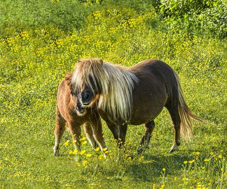 Moeder en zoon pony