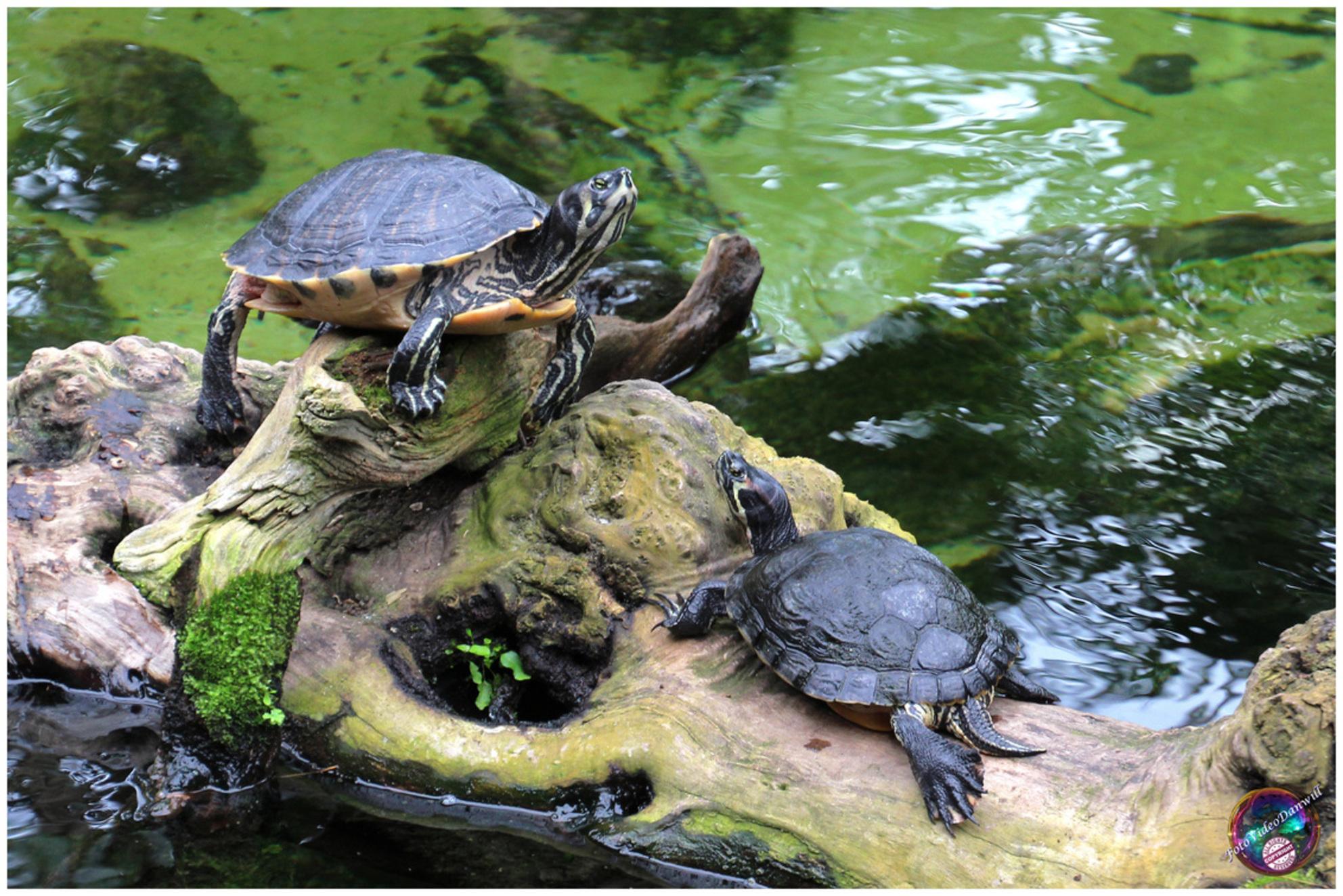 Ruik jij ook iets ... - - - foto door willemdanker op 22-12-2018 - deze foto bevat: schildpad, waterschildpad, luttelgeest, orchideeenhoeve - Deze foto mag gebruikt worden in een Zoom.nl publicatie