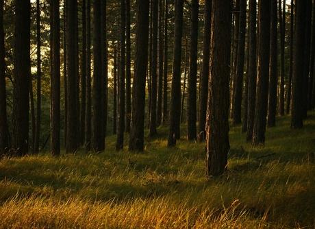 Golden pine trees