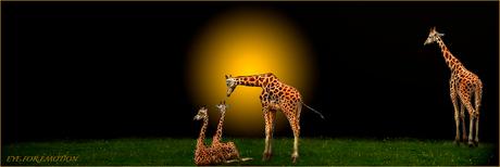De familie giraf..