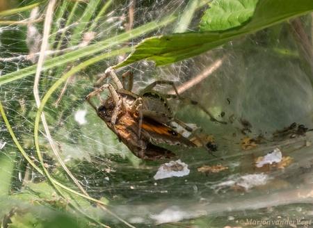 Vermorzeld - Dat is even andere koek !  Iedereen hartelijk dank voor de trouwe bezoekjes, en waardering voor mijn werk.   Lieve groeten, Marjon - foto door MarjonvanderVegt1967 op 23-07-2020 - deze foto bevat: natuur, spin, duinen, gevangen, spinnenweb, vuurvlinder, hard, meedogenloos, Den Haag, Zuid Holland, eten of gegeten worden, spin eet vlinder