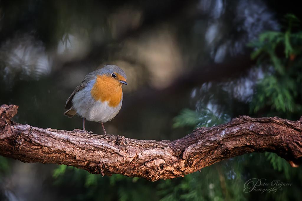 Roodborstje - Dit roodborstje liet zich mooi vastleggen. Bewuste een beetje omgeving meegenomen :)  Gr  Peter - foto door Peterr_zoom op 04-03-2021 - deze foto bevat: natuur, roodborstje, dieren, vogel