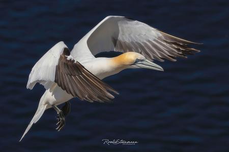 Wings - Bijna 3/4 jaar geleden heb ik met Lia deze reis naar Helgoland gepland. Ondanks alle berichten ging de trip gewoon door en kon niet worden verzet of  - foto door steinmann.rp op 30-05-2020 - deze foto bevat: zee, water, natuur, dieren, vogel, wildlife, duitsland, helgoland, jan van gent, Morus bassanus, Northern Gannet