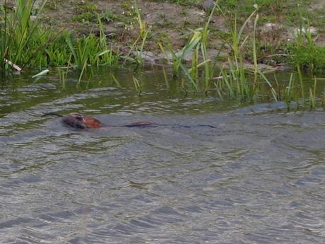 geen bever maar een otter