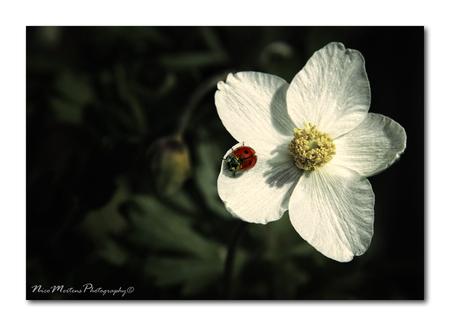 Spring Time!! - Hallo...  het is nu echt wel volop lente...genieten dus, we hebben al enkele hele mooie dagen gehad, dus toch ook al enkele foto's kunnen maken...: - foto door smeagol op 11-04-2011 - deze foto bevat: macro, lente, lieveheersbeestje, smeagol, 50d