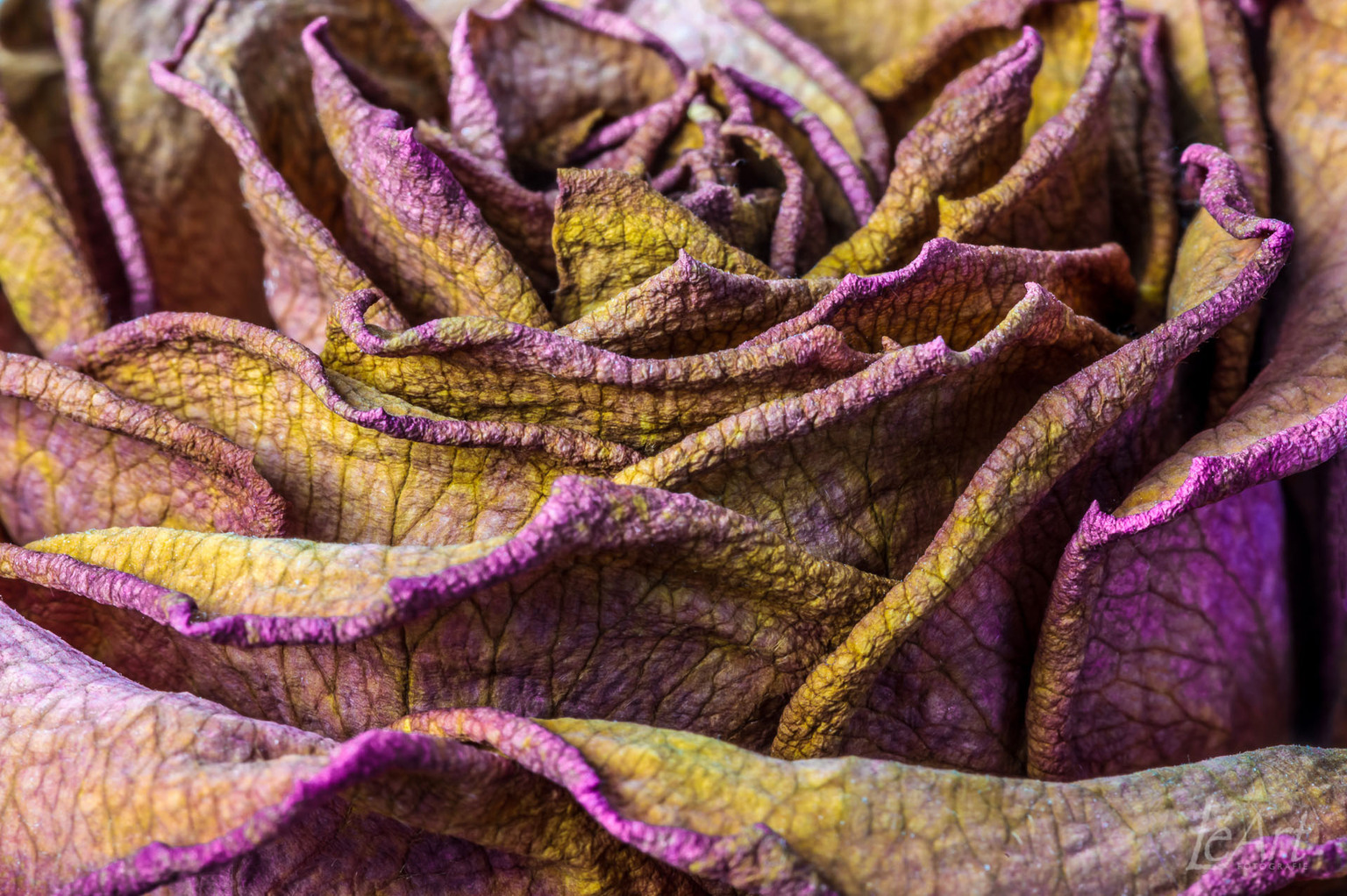The Rose - vergane glorie - foto door rannoch op 04-05-2021 - locatie: Veenendaal, Nederland - deze foto bevat: purper, magenta, wol, patroon, detailopname, draad, wollen, elektrisch blauw, natuurlijk materiaal, rif