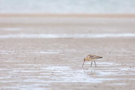Rosse Grutto op het strand van Texel