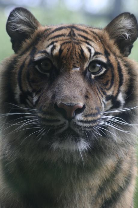 strakke tijger