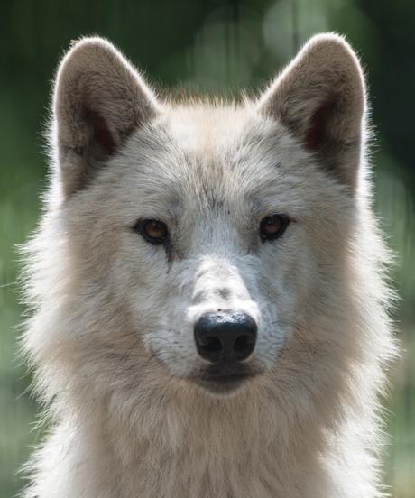 Hudson bay wolf portrait in Artis
