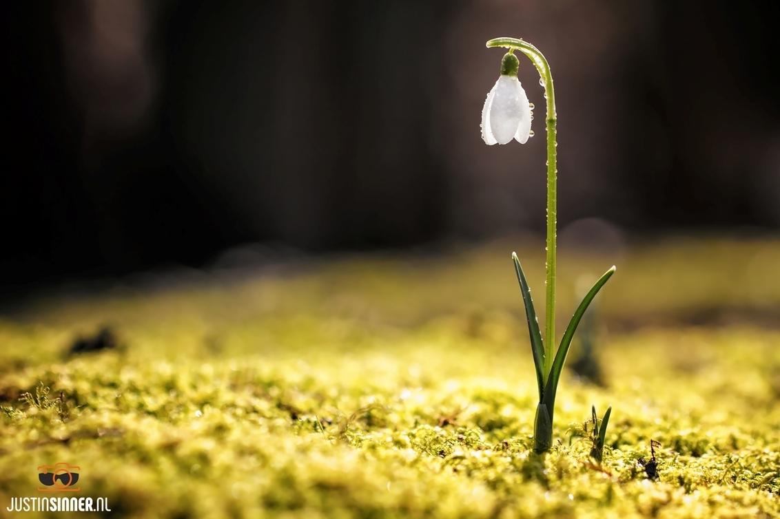 Sneeuwklokje met dauwdruppels vroeg in de ochtend op Texel. - Sneeuwklokje met dauwdruppels vroeg in de ochtend op Texel.  Bedankt voor de likes en comments op mijn vorige foto.  http://Justinsinner.nl  Fo - foto door JustinSinner op 28-02-2017 - deze foto bevat: groen, boom, bloem, druppel, geel, winter, blad, bloemen, bos, druppels, stilleven, voorjaar, texel, dauw, wadden, fotografie, sneeuwklokje, justin, derde, regel, sneeuwklok, bokeh, sinner