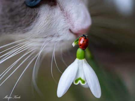 Je kan het voorjaar ruiken! - Ben je serieus aan het fotograferen, komt onze ragdoll Luna even helpen...Ze vond het reuze interessant om wat te snuffelen aan het lieveheersbeestje - foto door Marja8032 op 24-02-2021 - deze foto bevat: lieveheersbeestje, voorjaar, sneeuwklokje