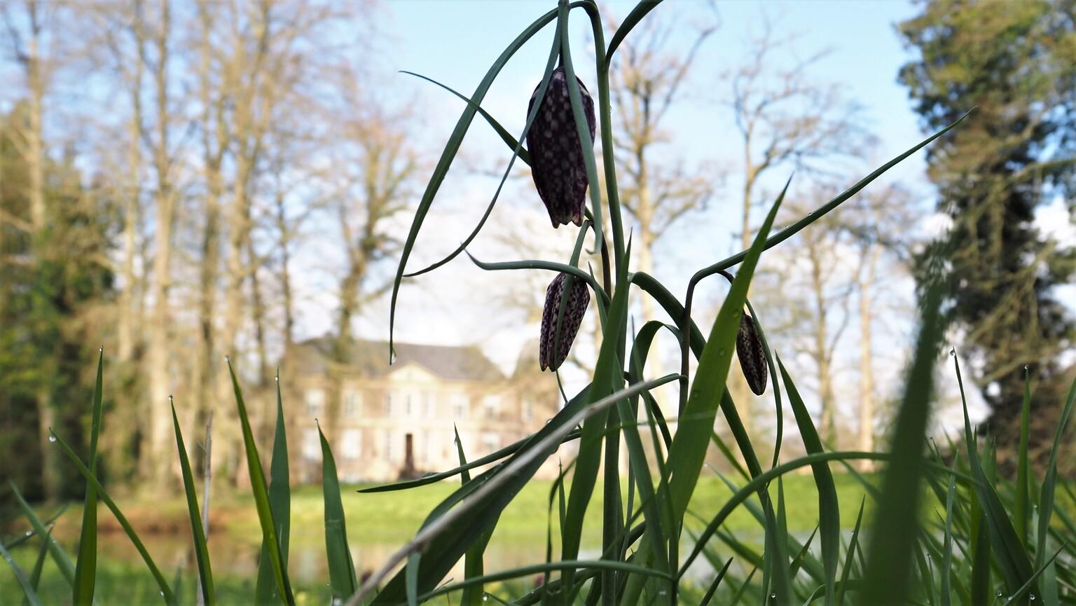 kievietsbloem bij kasteel Hackfort - natuur om kasteel Hackfort is erg mooi...genieten om te wandelen , fotograferen, niks doen en luisteren naar de vogels - foto door bernadette-willemsen op 16-04-2021 - locatie: 7251 Vorden, Nederland - deze foto bevat: kievietsbloem, kasteel hackfort, natuur, nature, rust, cultuur, geschiedenis, lucht, fabriek, hout, takje, afdeling, boom, terrestrische plant, natuurlijk landschap, gras, kofferbak