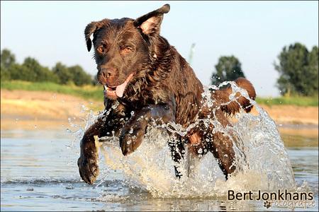Zomer - lekker genieten in het water. - foto door bjonkhans op 25-07-2012 - deze foto bevat: water, hond, labrador
