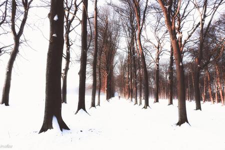 Beuken in de winter - Beuken in Leersum (worden waarschijnlijk in 2021 gekapt, 650 stuks!) Bedankt voor de aardige reacties op eerdere foto's. - foto door hilda1 op 12-02-2021 - deze foto bevat: natuur, winter, landschap, bomen, beuken