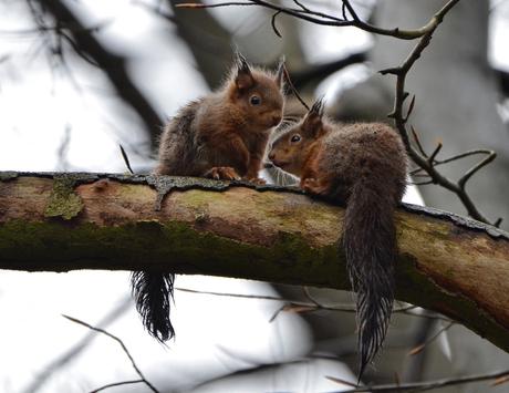 Jonge eekhoorns.