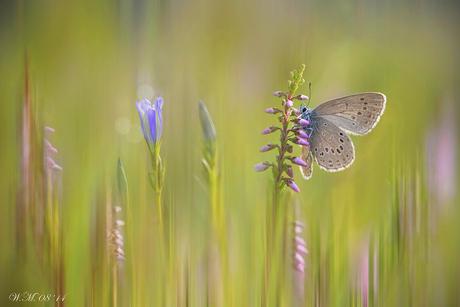 Gentiaanblauwtje