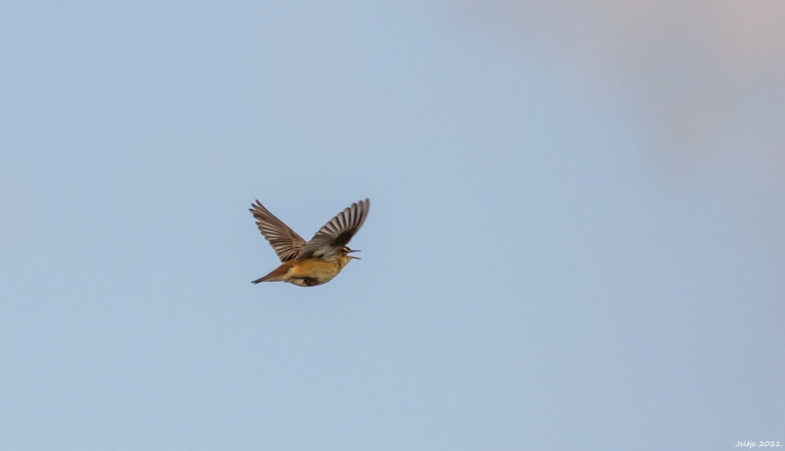 Rietzanger. - Rietzanger. - foto door ikjel op 16-04-2021 - deze foto bevat: rietzanger, lucht, vogel, bek, accipitridae, falconiformes, veer, vleugel, staart, accipitriformes, roofvogel