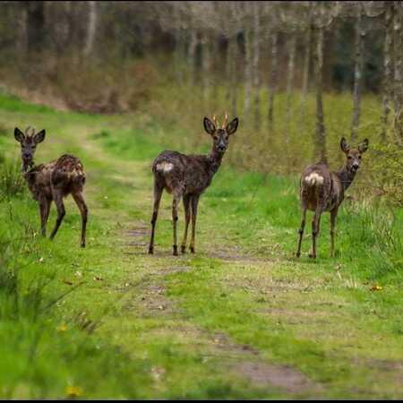 Fotomoment  - Een paar meter stappen deze 3 reeën uit de bossen. - foto door Erikvdzwan op 15-04-2021 - locatie: 8181 Heerde, Nederland - deze foto bevat: fabriek, herten, natuurlijk landschap, gras, fawn, terrestrische dieren, grasland, boom, bodembedekker, landschap