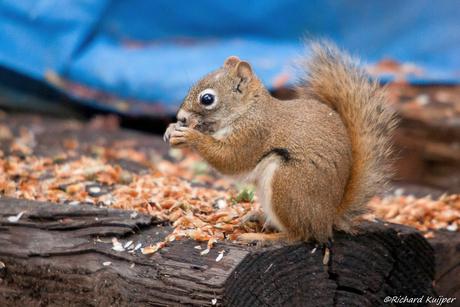 Amerikaanse rode eekhoorn (Red squirrel)