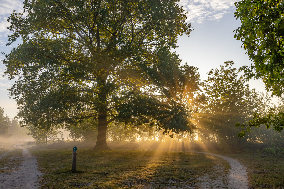 zonneharpen bij het Kootwijkerzand - Zonneharpen bij het Kootwijkerzand - foto door JolandavanDijk op 20-05-2020 - deze foto bevat: zon, lente, natuur, licht, heide, bos, tegenlicht, zonsopkomst
