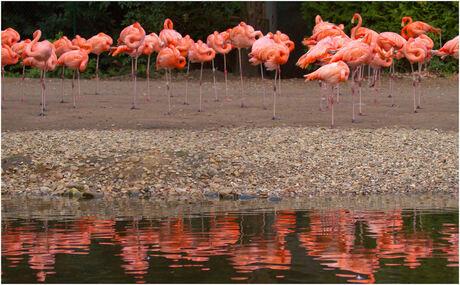 Flamingo's in ruste