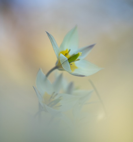 Het tulpje