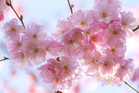 Kersenbloesem - De prachtige roze kersenbloesem in tegenlicht - foto door HansKeij op 08-04-2021 - locatie: Doorweg 32, 1182 DB Amstelveen, Nederland - deze foto bevat: bloesem, kersenbloesem, natuur, roze, bloesemtuin, bloesempark, amstedamse bos, fotokeij.nl, bloem, fabriek, wit, licht, afdeling, bloemblaadje, takje, roze, boom, lucht