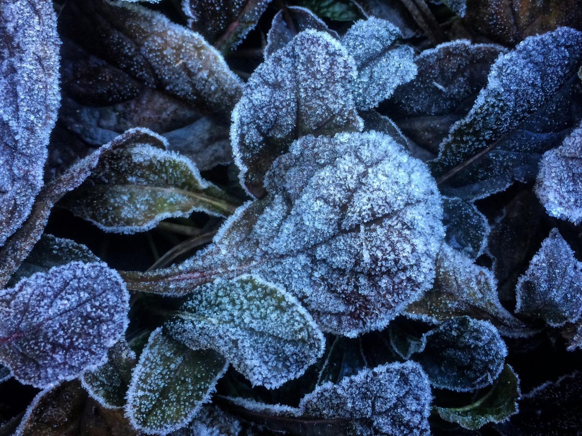 Vorst - Een ijskoude ochtend met een prachtig ijslaagje over de planten. - foto door convust op 29-11-2016 - deze foto bevat: plant, herfst, tuin, rijp, blad, vorst