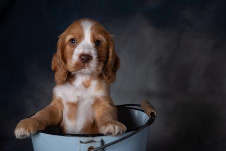 Cocker spaniel pup - - - foto door jschaapman op 26-02-2020